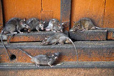 Уничтожение крыс и мышей